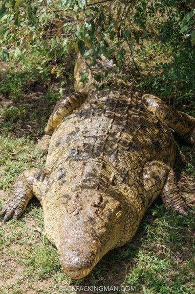 crocodile masai mara