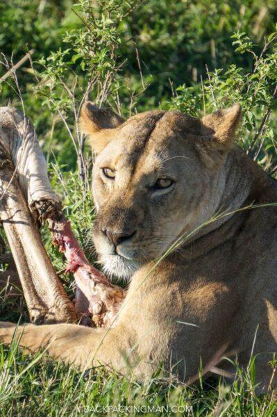 lion Masai Mara safari