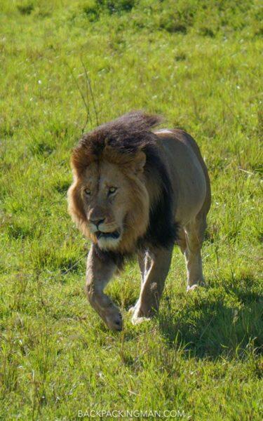 male lion masai mara
