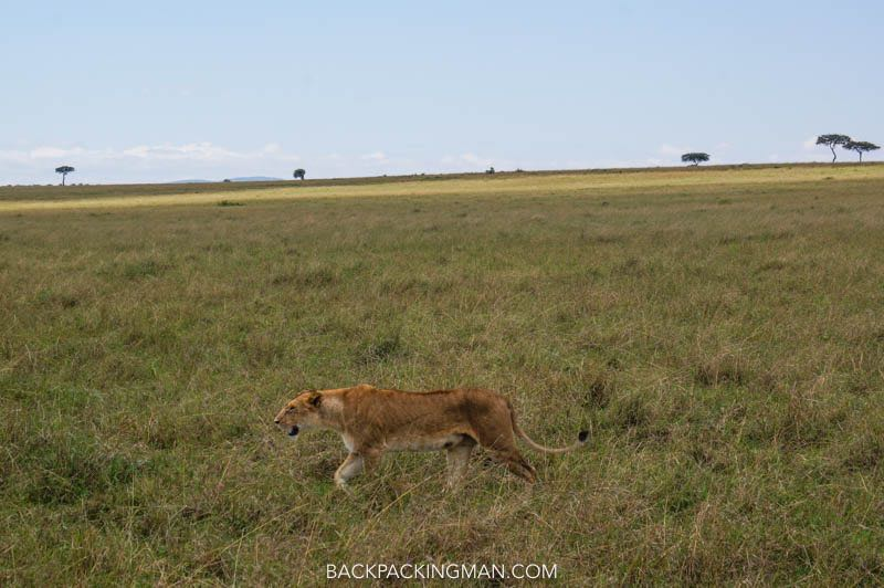 lion hunt masai mara safari