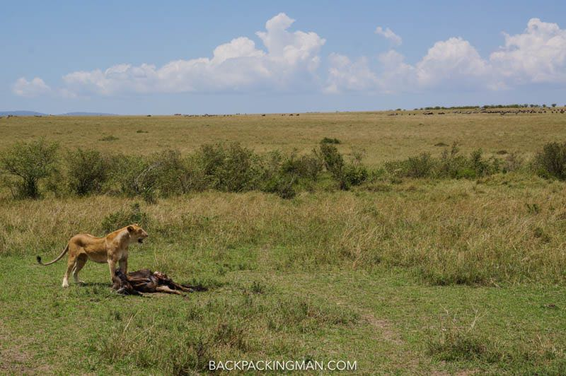 lion kill masai mara