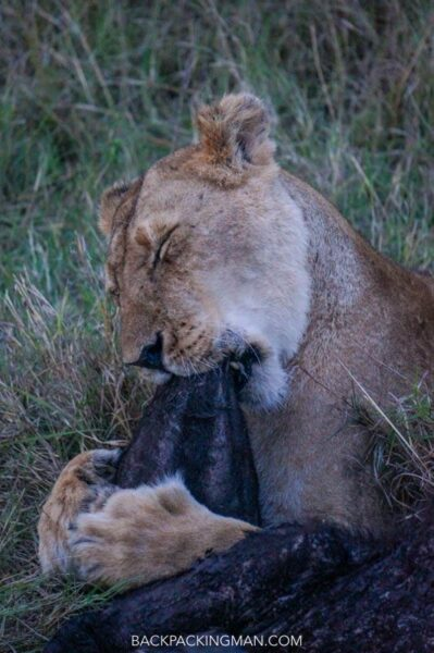 lion kill in masai mara
