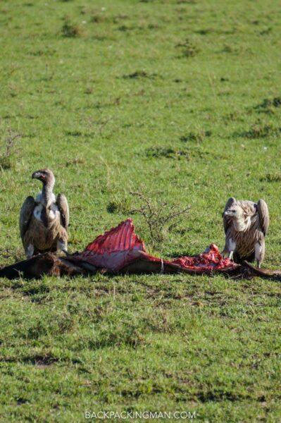 vultures masai mara