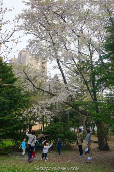 cherry-blossom-sapporo-japan-15