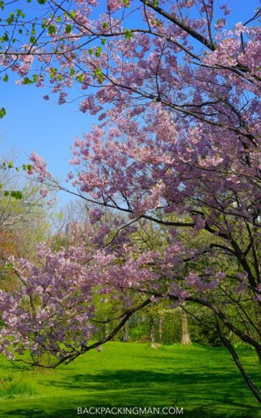 cherry-blossom-sapporo-japan-7