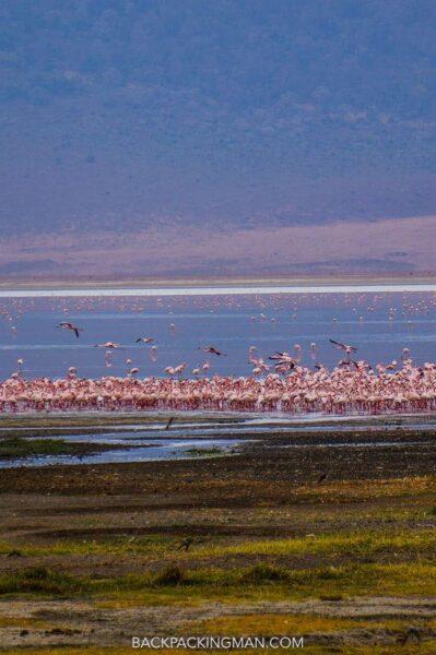 ngorongoro-flamingos