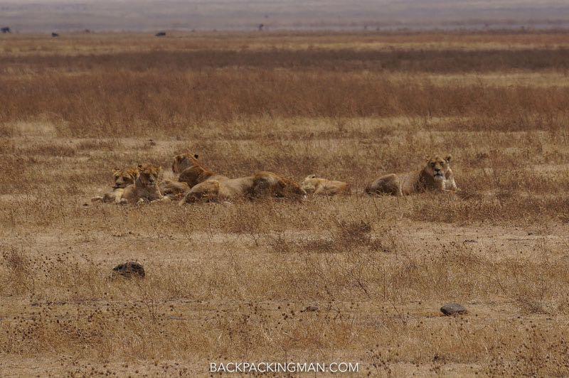 ngorongoro-lions