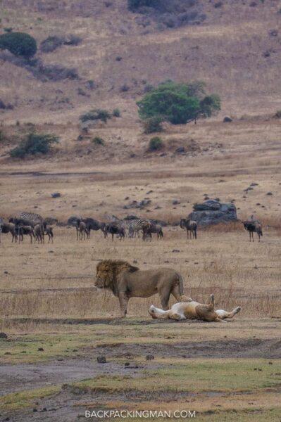ngorongoro-safari-lions