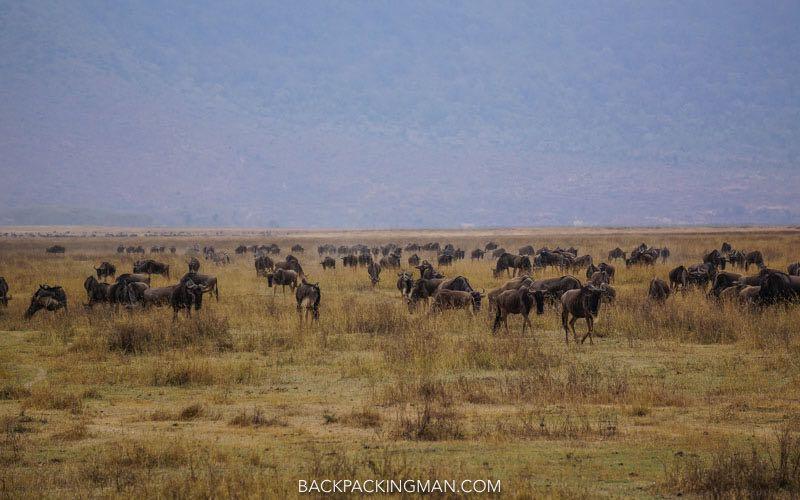 ngorongoro-wildebeast-1