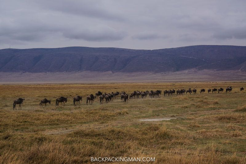 ngorongoro-wildebeast-migration