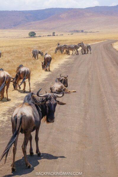ngorongoro-wildebeast