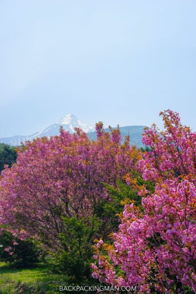 rishiri-rebun-national-park-japan-cherry-blossom