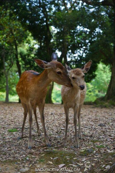 baby deer nara park japan