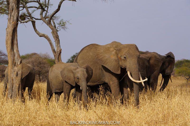 elephants East African wildlife