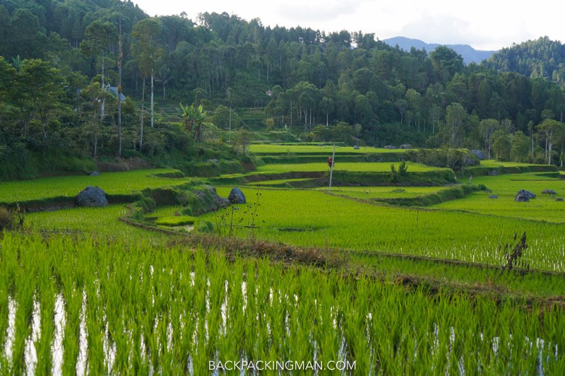 rice field sulawesi