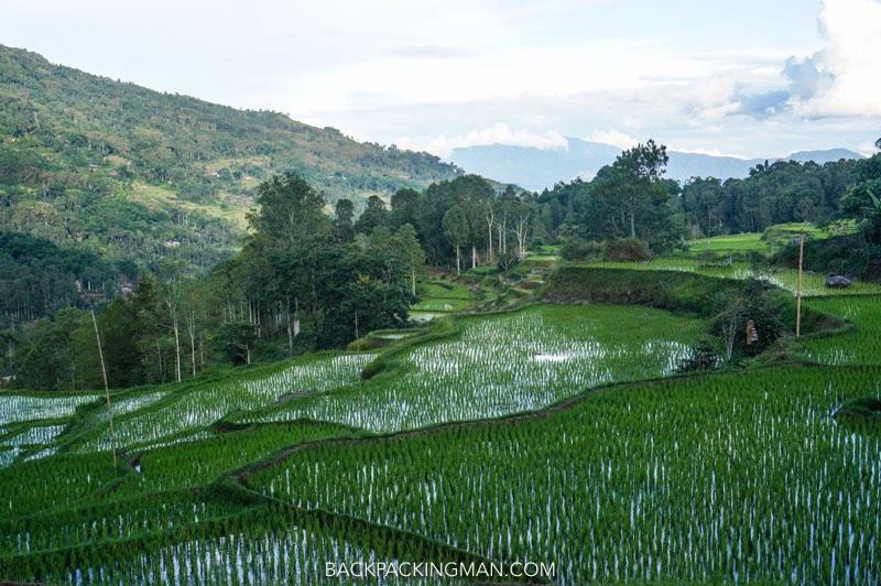 rice fields sulawesi