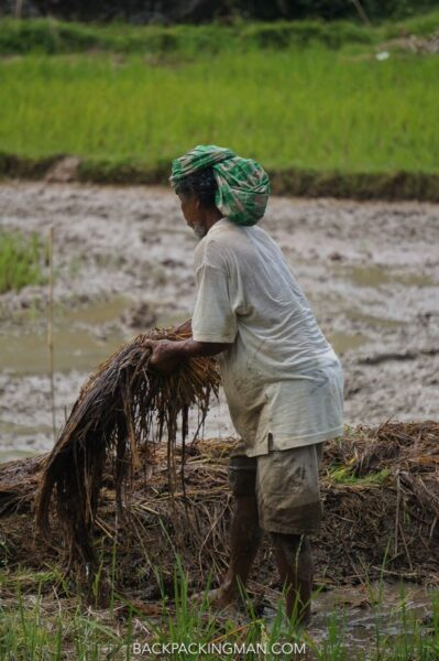 rice field work indonesia
