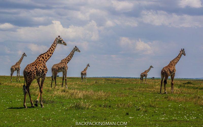 East African Wildlife giraffes