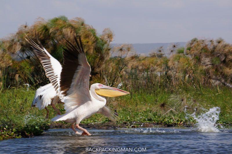 pelican Lake Naivasha