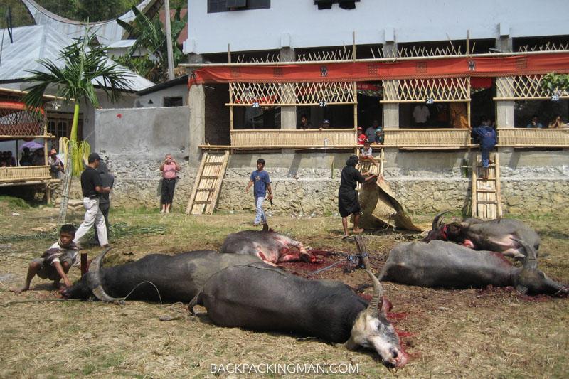 tana toraja buffalo funeral