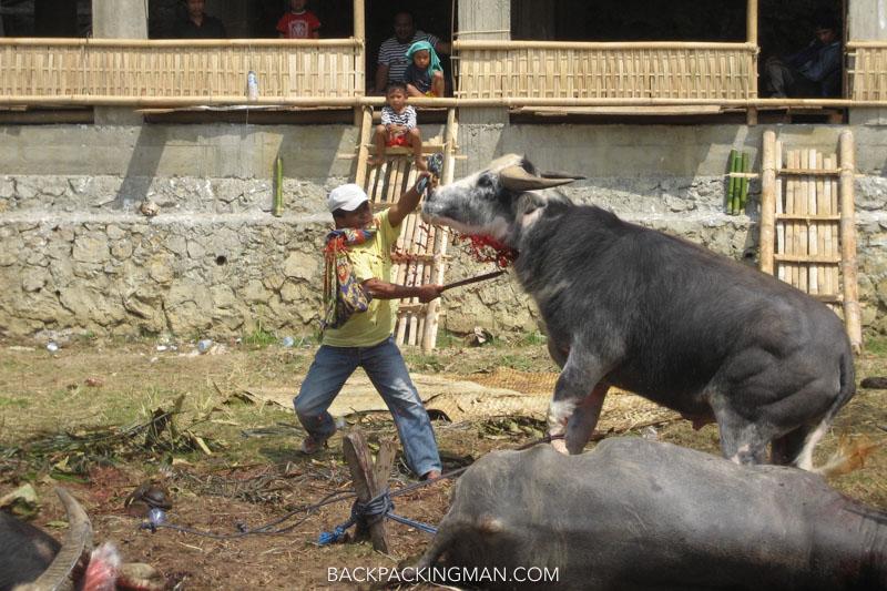 tana toraja sulawesi buffalo funeral sacrifice