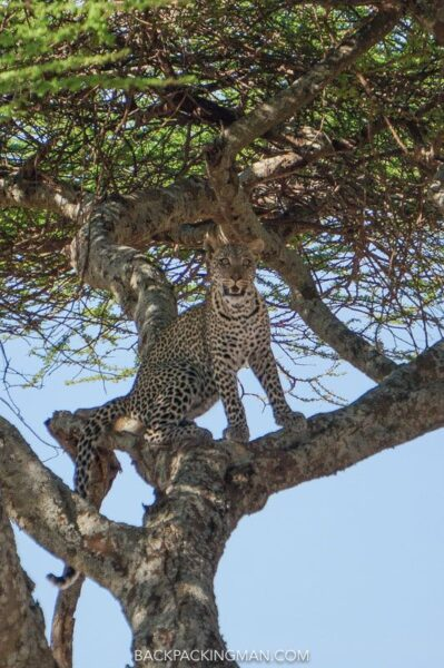 leopard-serengeti-safari-1