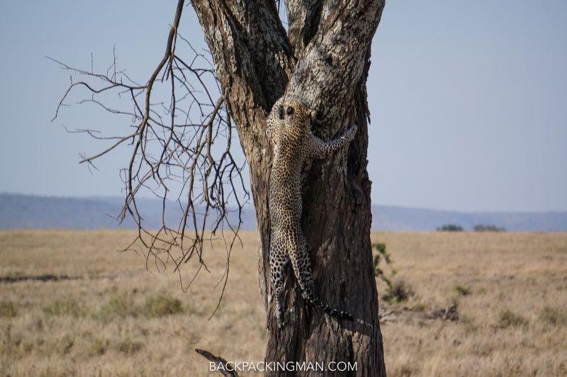 leopard-serengeti-safari-2