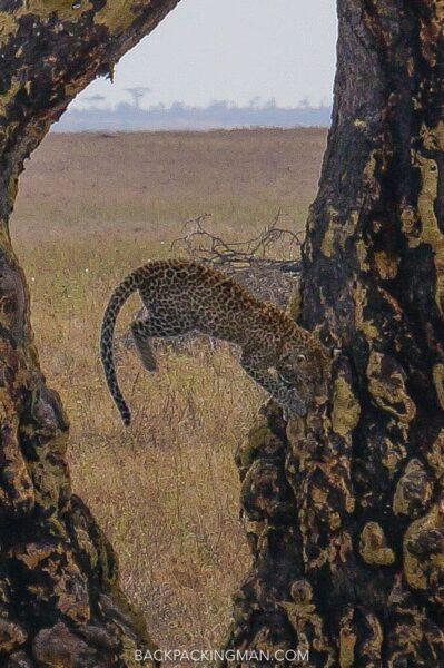 leopard-serengeti-safari-4