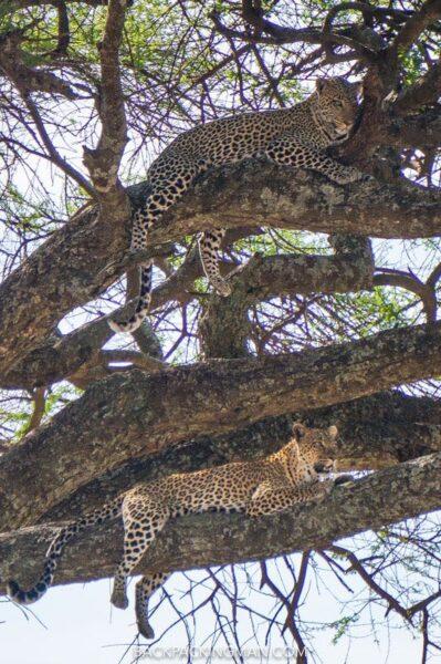 leopards-serengeti-safari