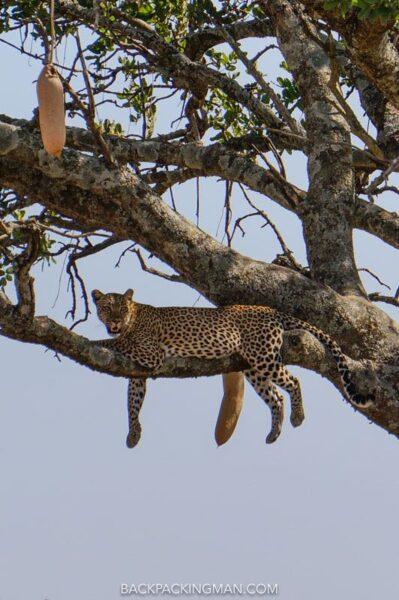leopards-serengeti