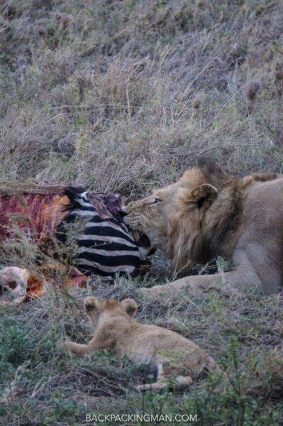 lion-kill-serengeti