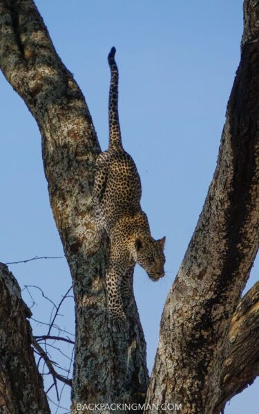 serengeti-leopard-safari-1