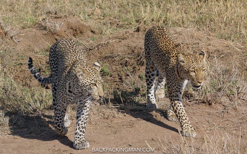 serengeti-leopards-1