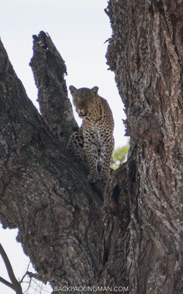 serengeti-leopards