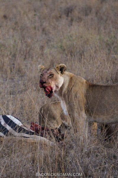 serengeti-lions-2