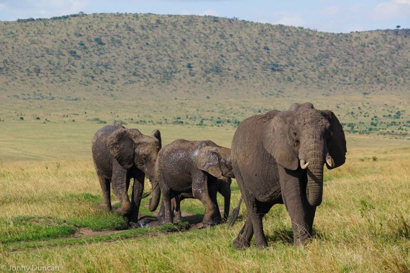 backpacking Kenya on a budget elephants in Masai Mara safari