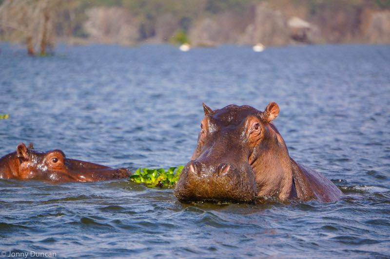 backpacking Kenya on a budget hippos Lake Naivasha