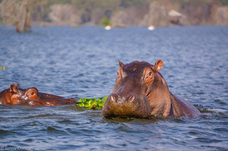 hippos lake naivasha kenya backpacking 2 weeks itinerary