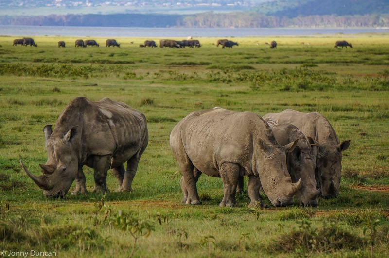 backpacking Kenya on a budget rhinos at Lake Nakuru