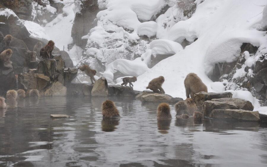 snow monkey park Japan