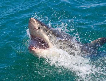 Great White Shark Cage Diving in Gaansbai South Africa (JAWS!)