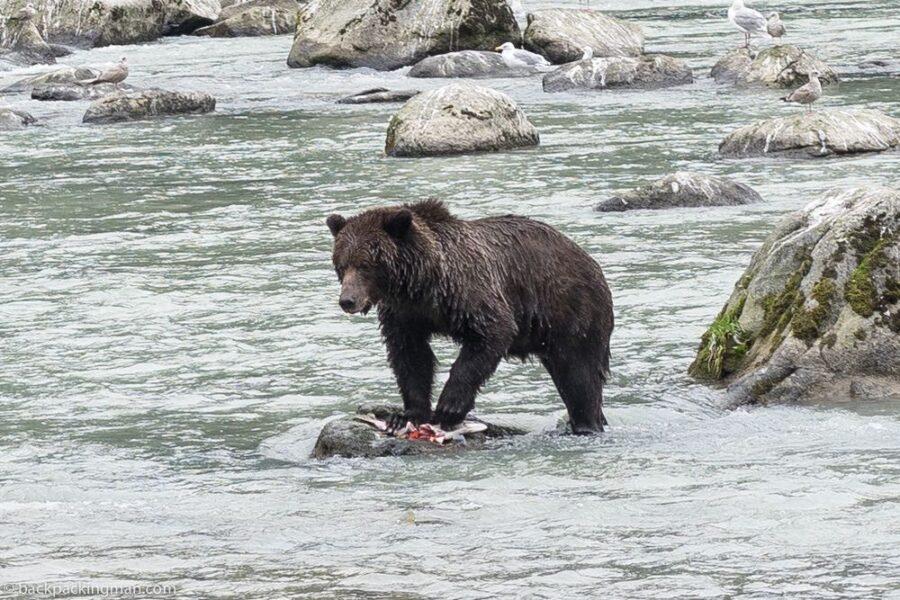 Kenai Peninsula Alaska bear