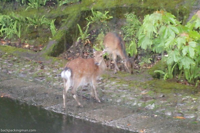 miniature deer Yakushima Island