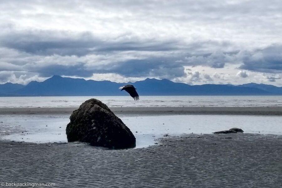 eagle flying homer beach Alaska