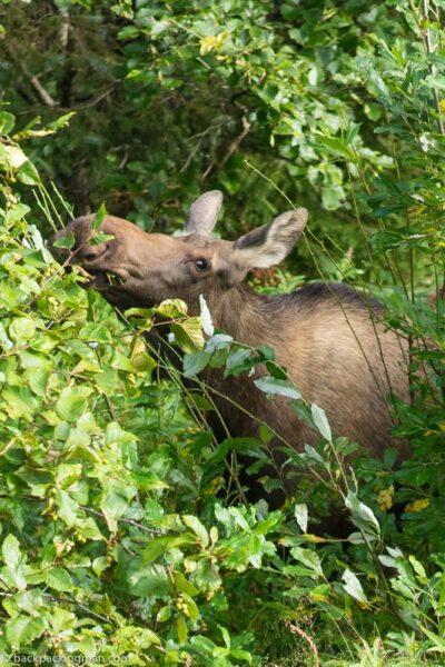 moose kenai Alaska