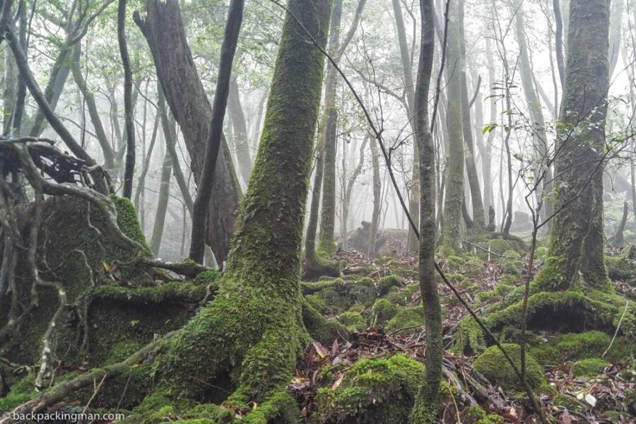 Yakushima hiking forest