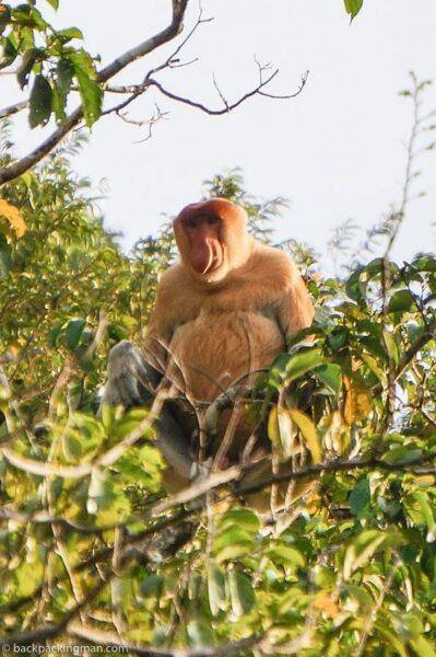 proboscis monkey sarawak