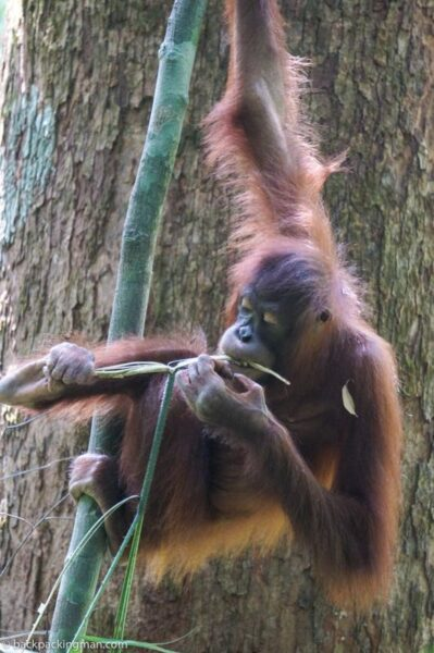 sepliok orangutan