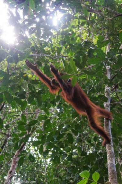 sepilok orangutan sarawak