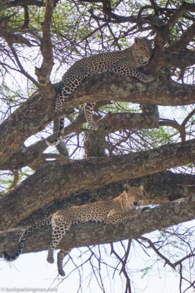 leopards serengeti